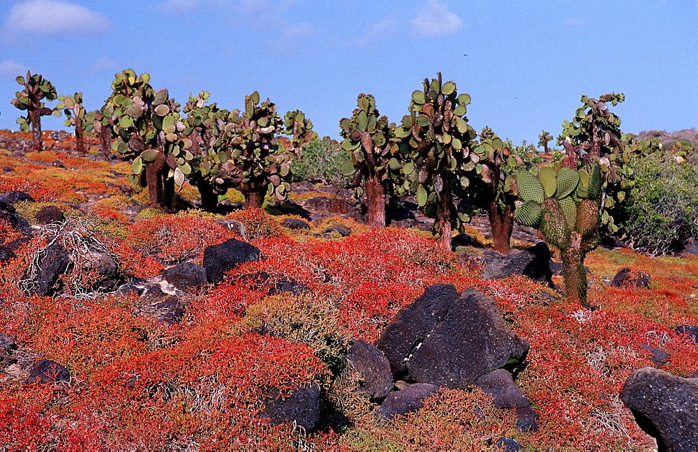 Galapagos island South Plaza, Plaza Sur, Ecuador, South America, Galápagos, Galapagos, Island, Pacific Ocean