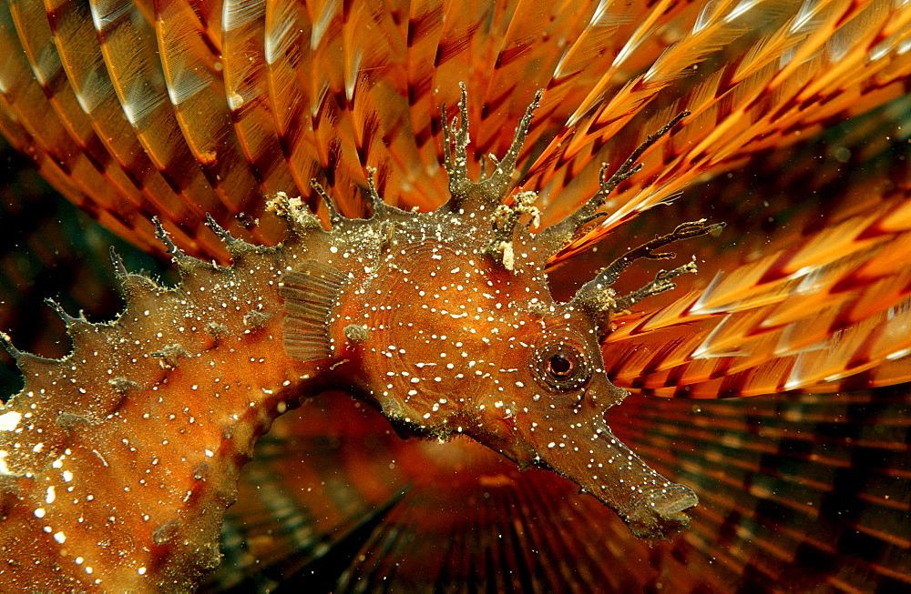 Speckled Seahorse, Long-snouted seahorse, Hairy Seahorse, Hippocampus guttulatus, Italy, Medterranean Sea, Sardinia