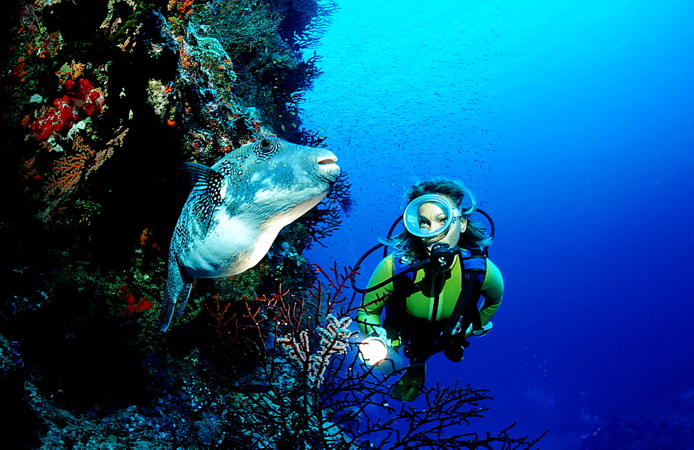 Starry puffer and scuba diver, Arothron caeruleopunctatus, Australia, Pacific Ocean, Great Barrier Reef