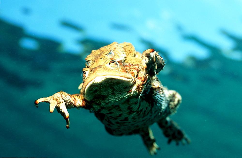 Mating toads, toad, Bufo bufo, Austria, Steiermark, Gruener See