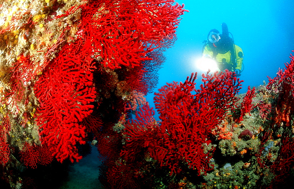 Scuba diver and corals, Spain, Mediterranean Sea, Costa Brava
