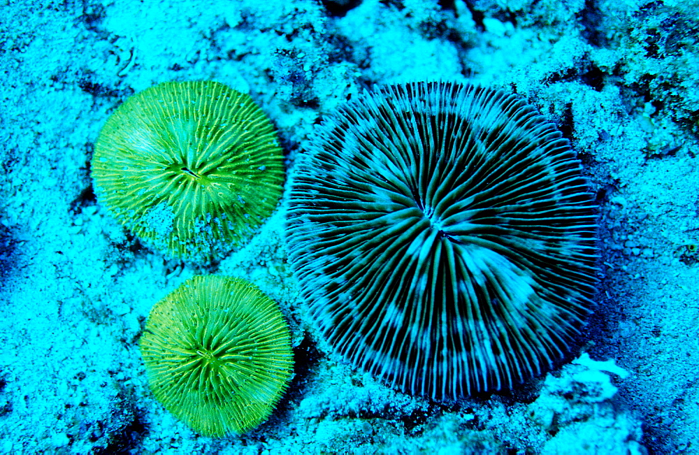 Fluoresce Mushroom coral, Coral fluorescenc, Ctenactis echinata, Indonesia, Indian Ocean, Komodo National Park