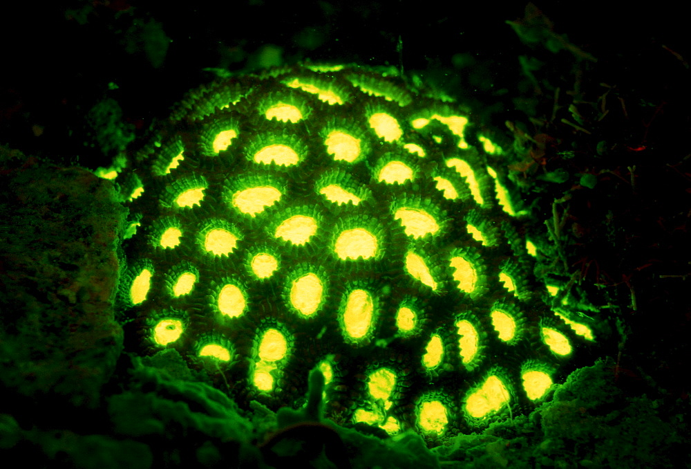 Fluoresce hard coral, Coral fluorescenc, Indonesia, Indian Ocean, Komodo National Park