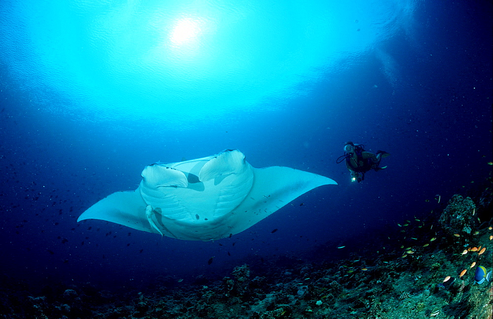 Manta ray and scuba diver, Manta birostris, Australia, Pacific Ocean, Great Barrier Reef
