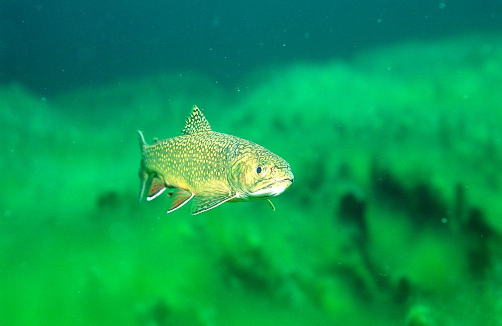 brook trout, Salvelinus fontinalis, Germany, Bavaria