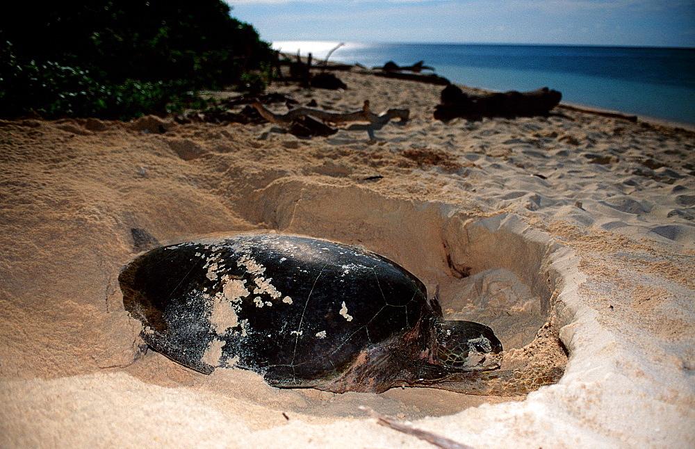 Green sea turtle, green turtle digs a hole on the beach, Chelonia mydas, Malaysia, Pazifik, Pacific ocean, Borneo, Sipadan