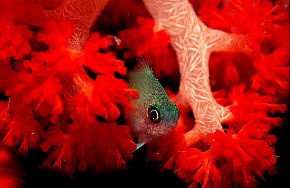 Spiny chromis, Acanthochromis polycanthus, Palau, Pacific ocean