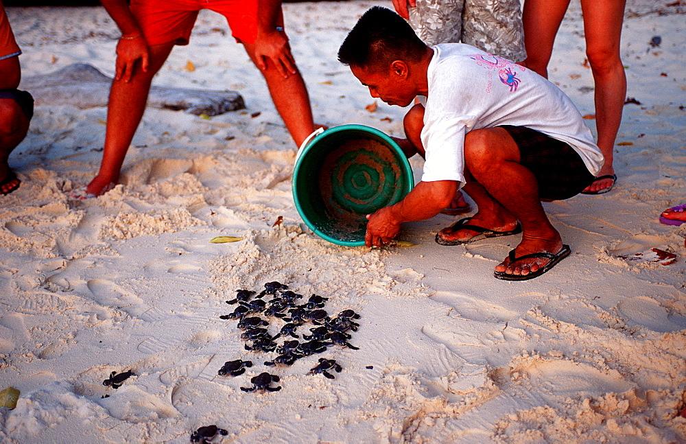 Baby Green sea turtle, green turtle, turtle release, Chelonia mydas, Malaysia, Pazifik, Pacific ocean, Borneo, Sipadan