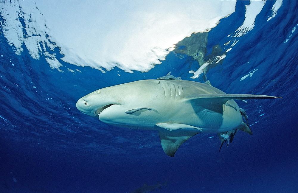 Lemon shark (Negaprion brevirostris), Grand Bahama Island, Bahamas, Atlantic Ocean, Central America