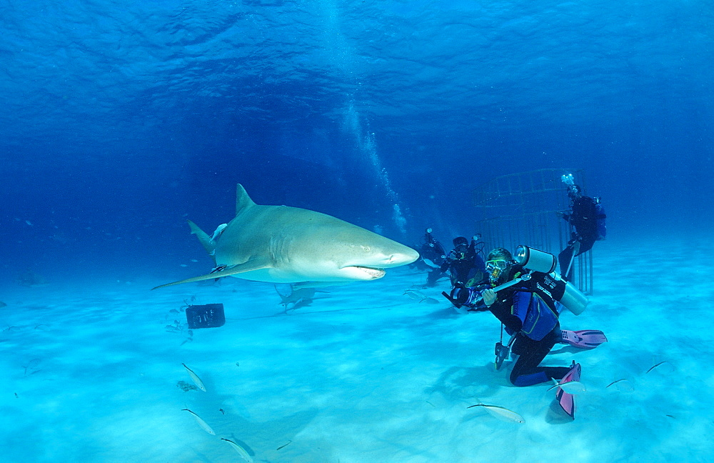 Lemon sharks (Negaprion brevirostris) and underwater photographer, Grand Bahama Island, Bahamas, Atlantic Ocean, Central America