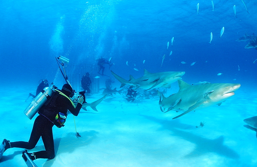 Lemon sharks (Negaprion brevirostris) and underwater photographer, Grand Bahama Island, Bahamas, Atlantic Ocean, Central America