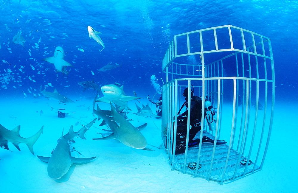 Lemon sharks (Negaprion brevirostris) and scuba diver in shark cage, Grand Bahama Island, Bahamas, Atlantic Ocean, Central America