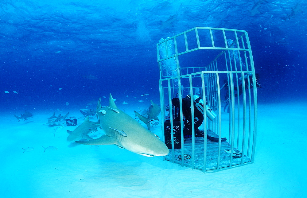 Lemon sharks (Negaprion brevirostris) and scuba diver in shark cage, Grand Bahama Island, Bahamas, Atlantic Ocean, Central America