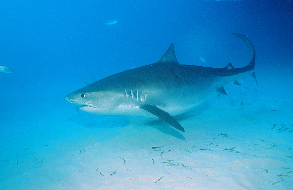 Tiger shark (Galeocerdo cuvier), Grand Bahama Island, Bahamas, Atlantic Ocean, Central America