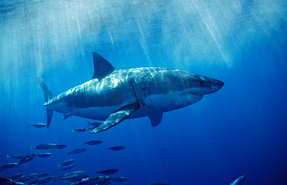 Great white shark (Carcharodon carcharias), Farallon Island, San Francisco Bay, California, United States of America, Pacific Ocean, North America - 759-4269