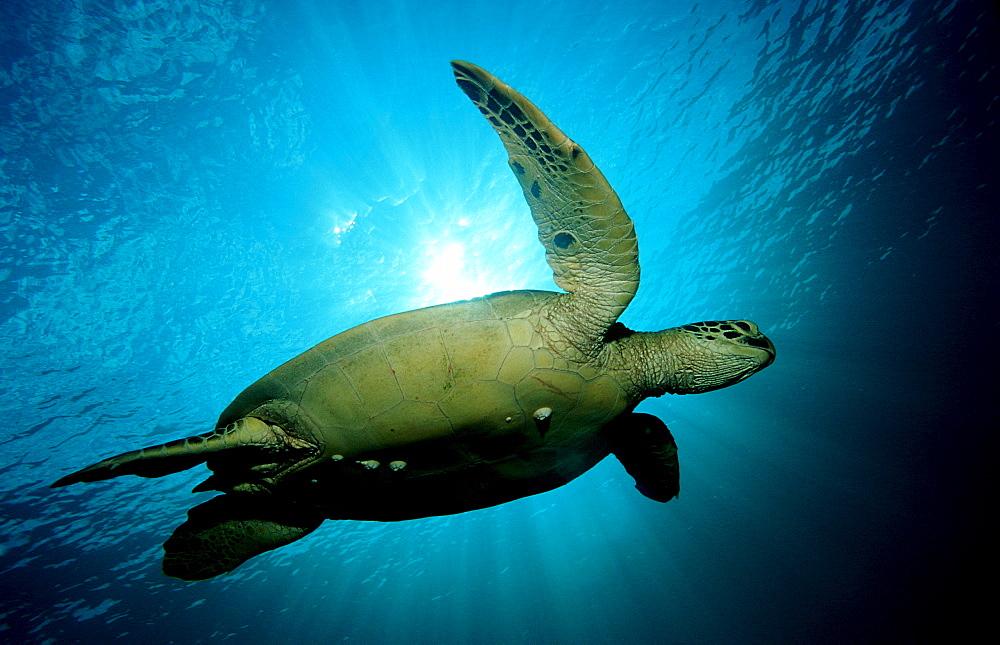 Green sea turtle, green turtle, Chelonia mydas, Malaysia, Pazifik, Pacific ocean, Borneo, Sipadan