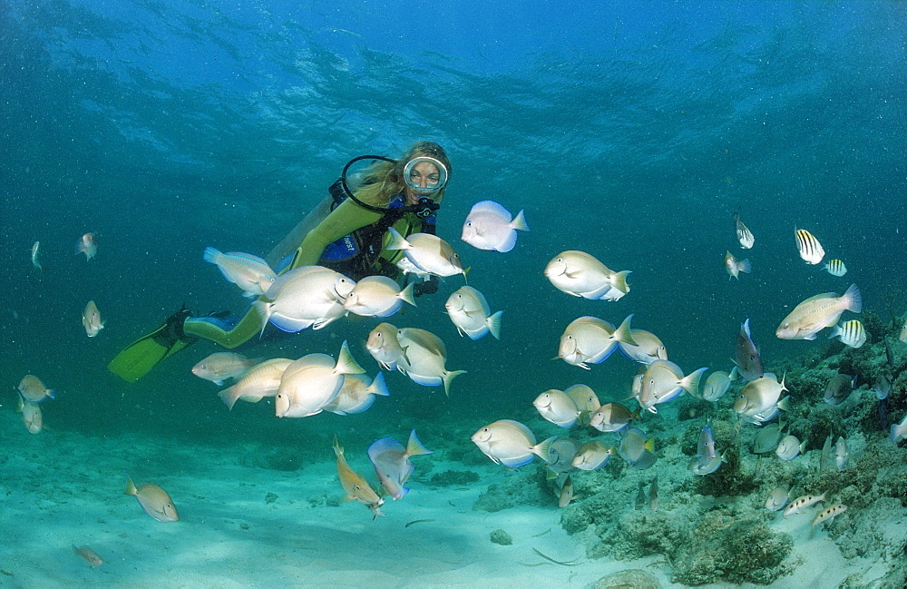 Surgeonfishes (Ancanthurus chirurgus), and scuba diver, Punta Cana, Caribbean Sea, Dominican Republic - 759-4529