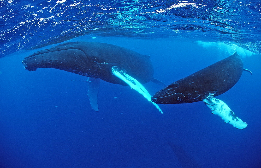 Humpback whale (Megaptera novaeangliae) mother and calf, Silverbanks, Caribbean Sea, Dominican Republic, West Indies, Caribbean, Central America - 759-4653