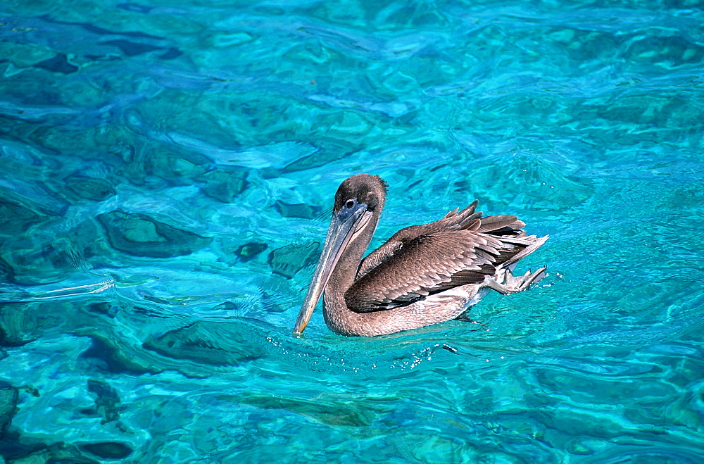 Swimming Pelican (Pelecanus occidentalis), Curacao, Dutch Antilles, West Indies, Caribbean, Central America