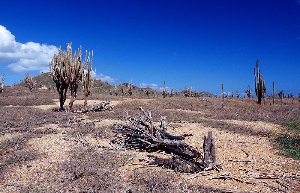 Cactuses, Netherlands Antilles, Bonaire, Bonaire, Washington Slagbaai National Park, Boka Chikitu