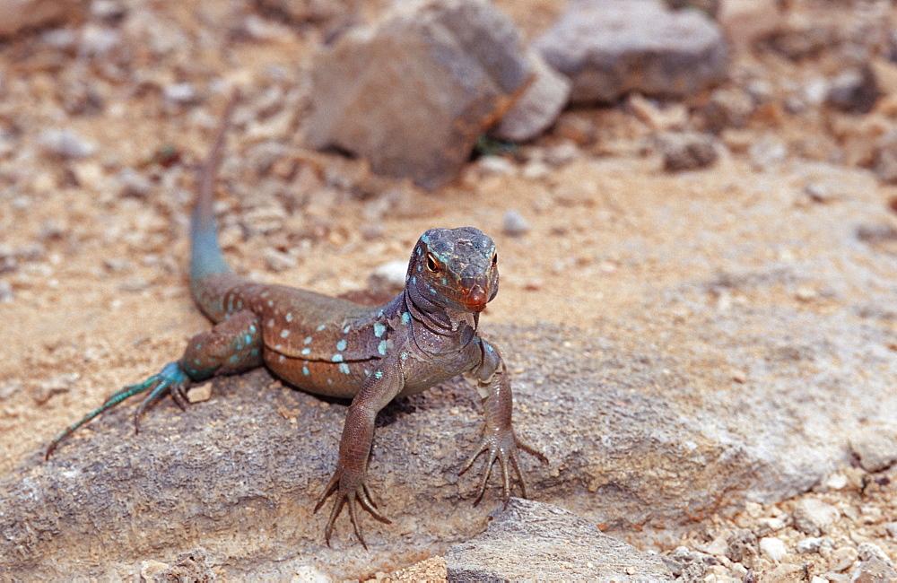 Blue whiptail lizard, Cnemidophorus murinus ruthveni, Netherlands Antilles, Bonaire, Bonaire, Washington Slagbaai National Park, Boka Chikitu
