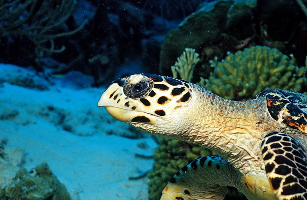 Hawksbill sea turtle, Eretmochelys imbricata, Netherlands Antilles, Bonaire, Caribbean Sea