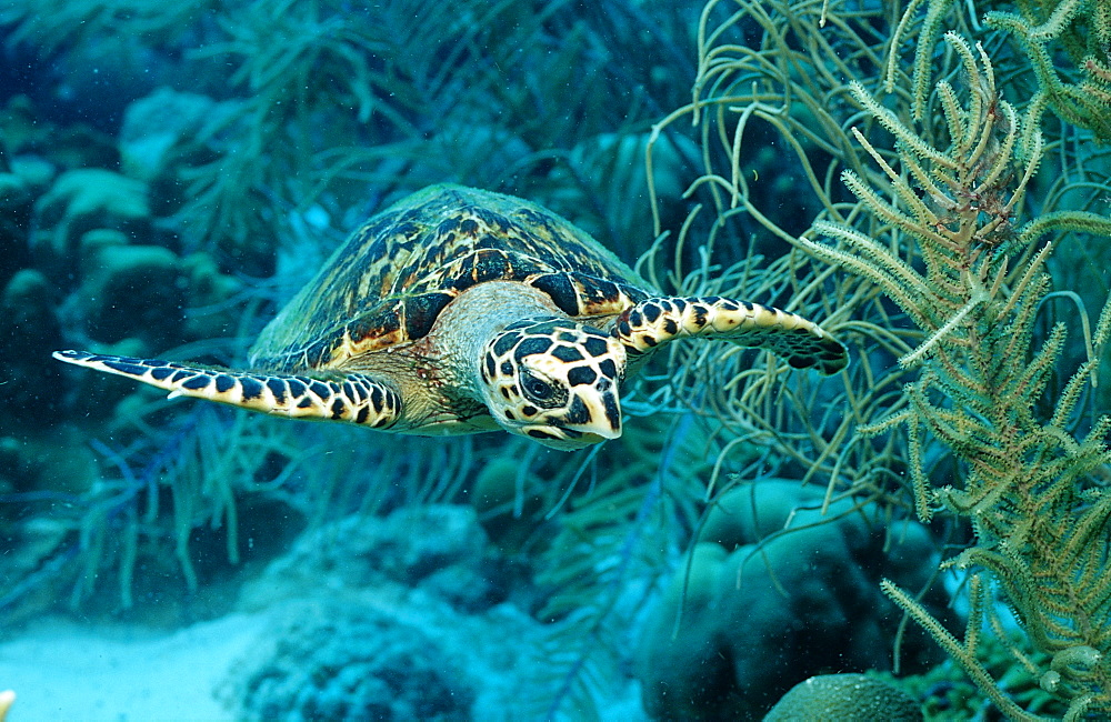 Hawksbill sea turtle, Eretmochelys imbricata, Martinique, French West Indies, Caribbean Sea