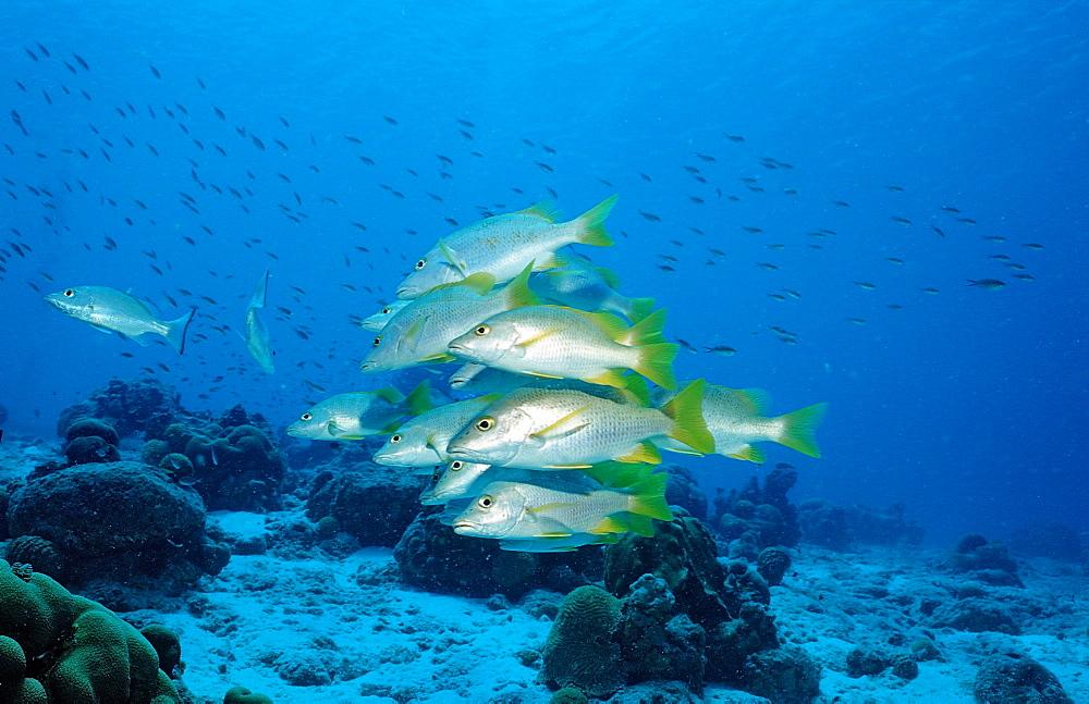 Schoolmaster, Lutjanus apodus, Netherlands Antilles, Bonaire, Caribbean Sea