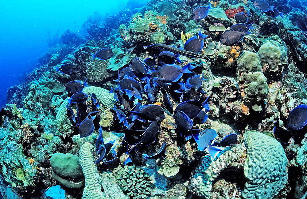 Blue Tank, Acanthurus coeruleus, Netherlands Antilles, Bonaire, Caribbean Sea