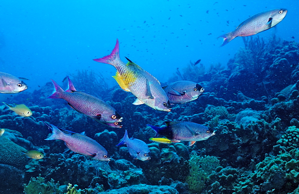 Creole Wrasse, Clepticus parrai, Dominica, French West Indies, Caribbean Sea
