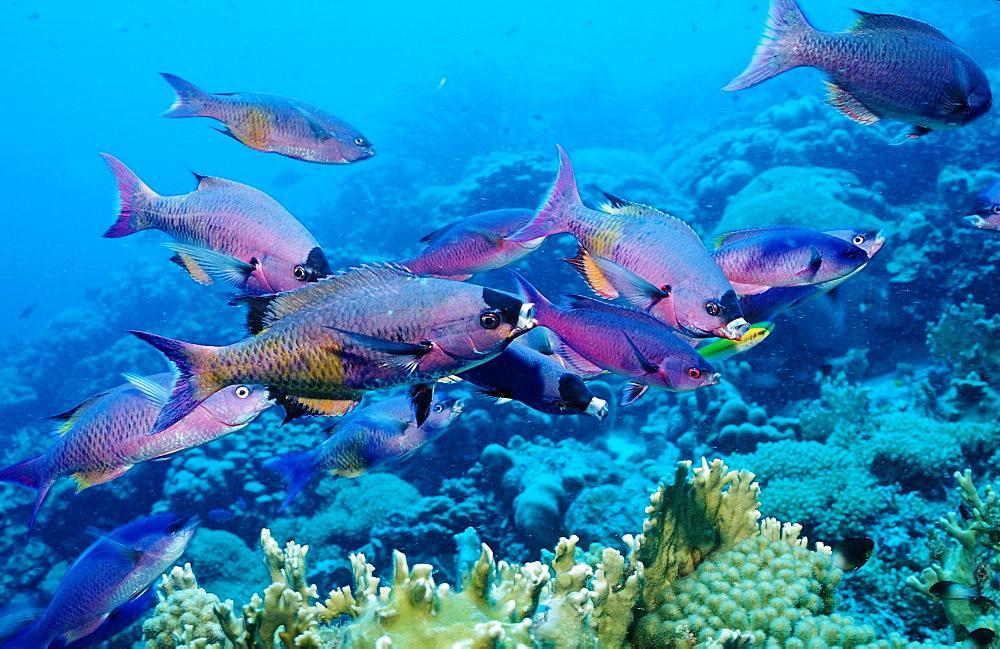 Creole Wrasse, Clepticus parrai, Netherlands Antilles, Bonaire, Caribbean Sea