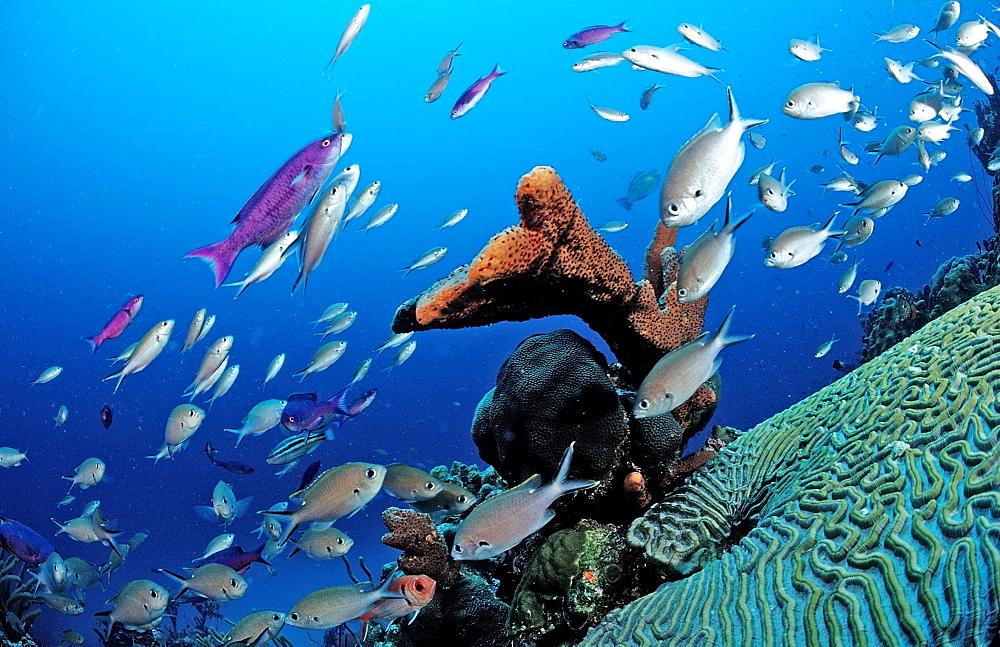 Brown Chromis, Chromis multilineata, Netherlands Antilles, Bonaire, Caribbean Sea
