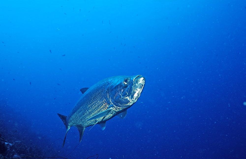 Tarpon, Megalops atlanticus, Netherlands Antilles, Bonaire, Caribbean Sea