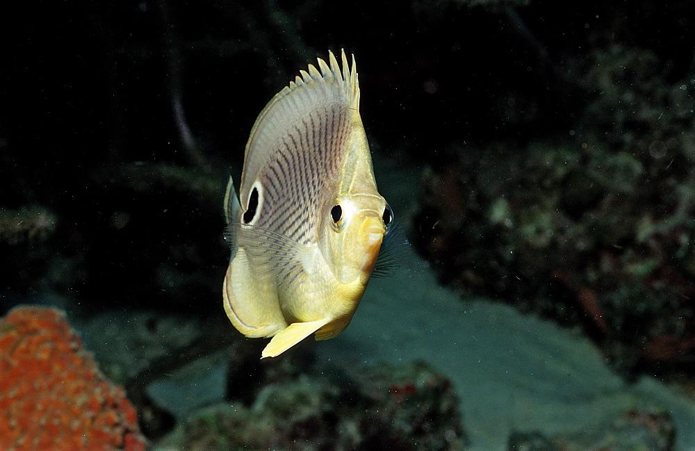 Foureye Butterflyfish, Chaetodon capistratus, Netherlands Antilles, Bonaire, Caribbean Sea