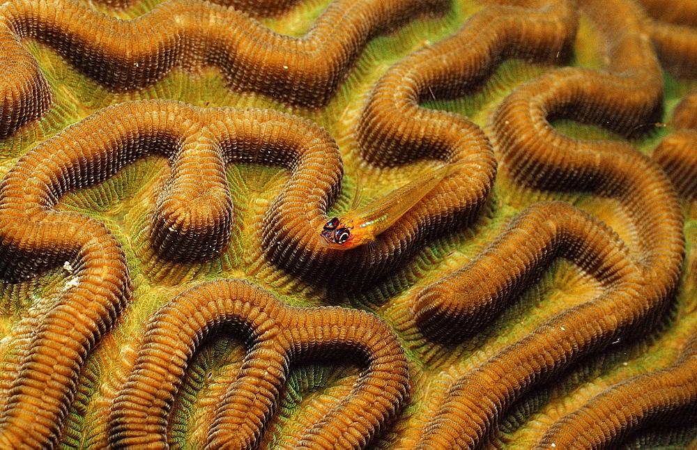 Pallid Gob y, Coryphopterus eidolon, Netherlands Antilles, Bonaire, Caribbean Sea