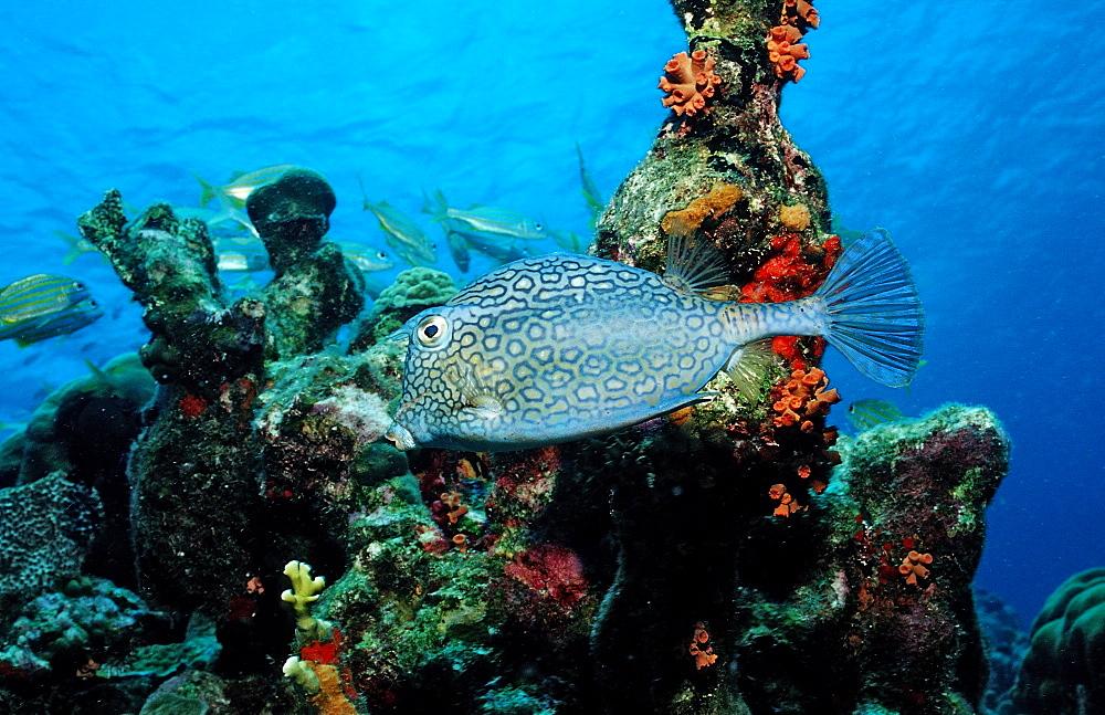 Honeycomb cowfish, Lactophrys polygonia, Netherlands Antilles, Bonaire, Caribbean Sea