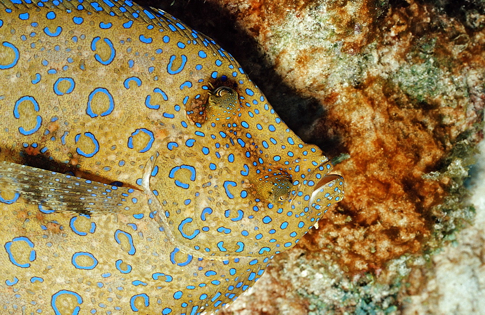 Peacock Flounder, Bothus lunatus, Netherlands Antilles, Bonaire, Caribbean Sea
