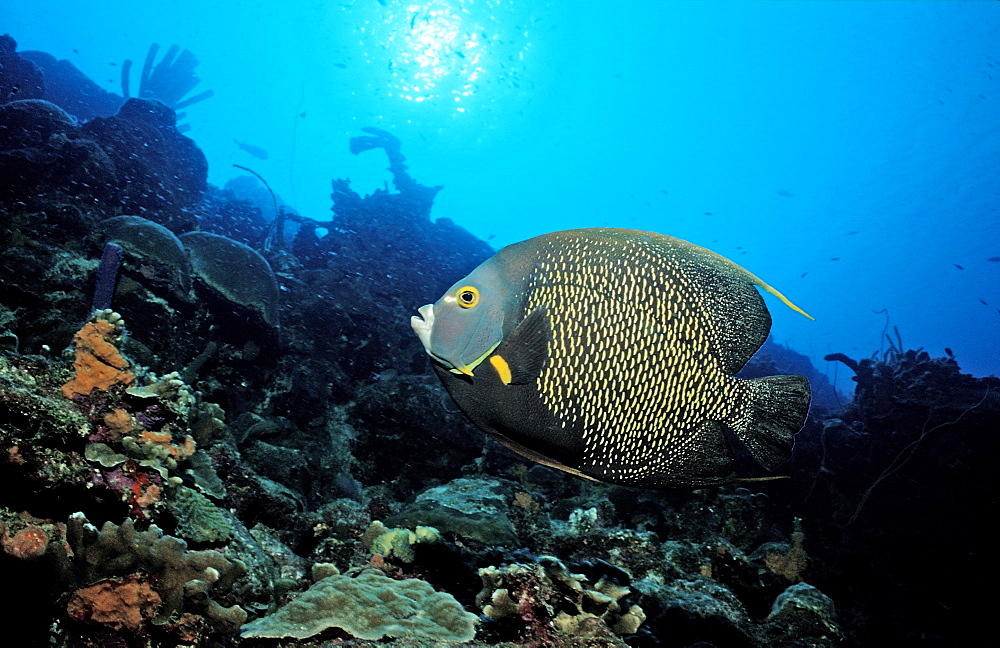 French Angelfish, Pomacanthus paru, Netherlands Antilles, Bonaire, Caribbean Sea