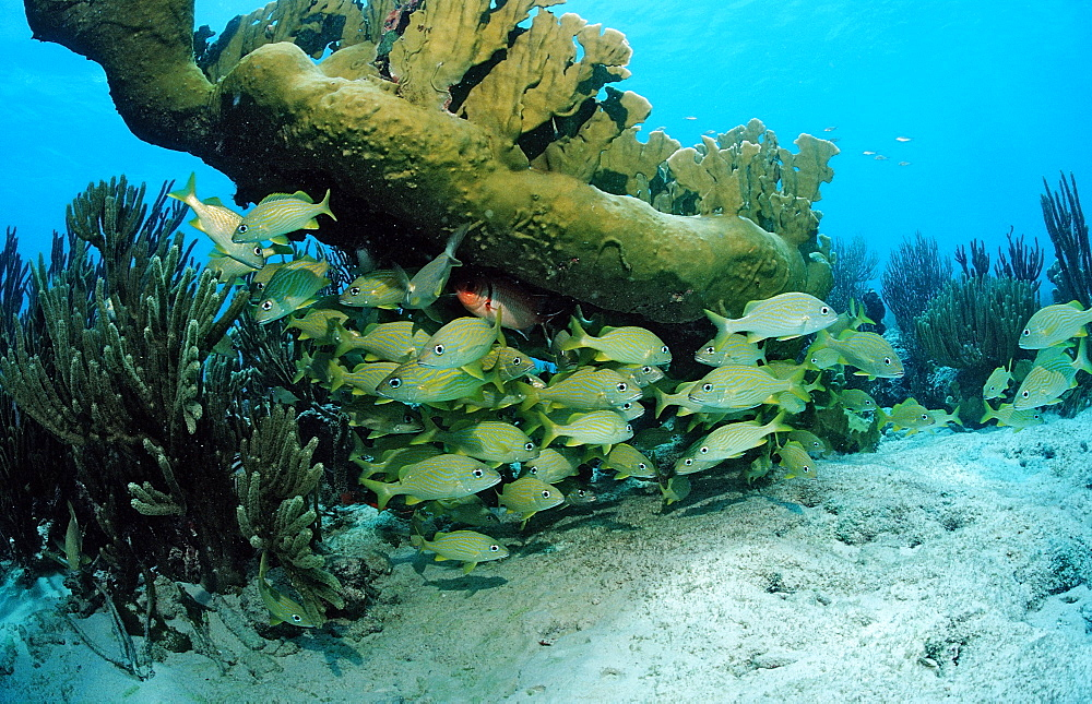 French Grunt, Haemulon flavolinatum, Netherlands Antilles, Bonaire, Caribbean Sea