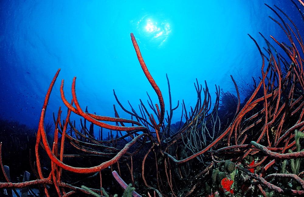 Tube sponge, Netherlands Antilles, Bonaire, Caribbean Sea