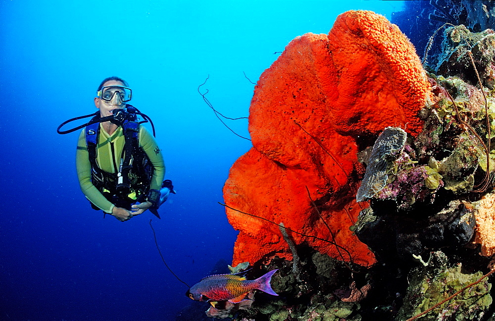 Scuba diver and Orange Elephant Ear Sponge, Agelas clathrodes, Martinique, French West Indies, Caribbean Sea