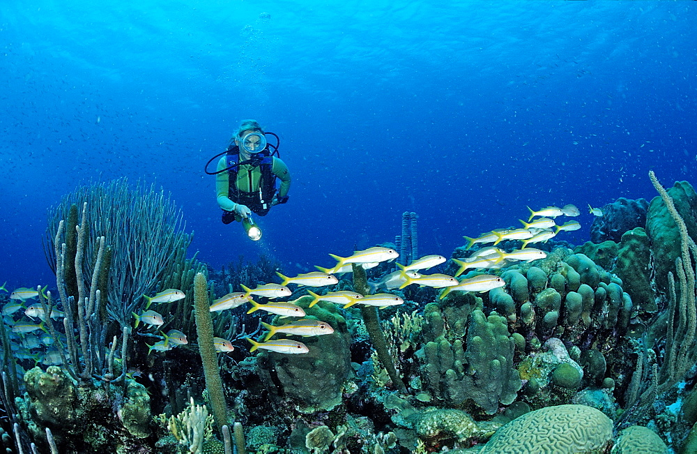 Scuba diver and Yellow Goatfishes, Mulloidichthys martinicus, Netherlands Antilles, Bonaire, Caribbean Sea