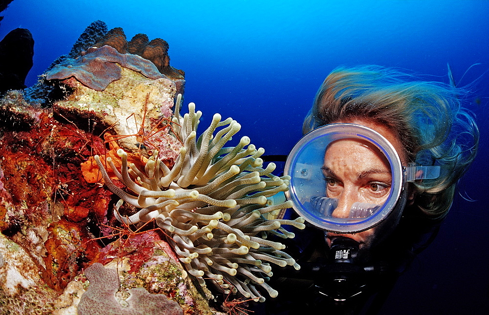Scuba diver and Spider hermit crabs in anemone, Stenorhynchus seticornis, Netherlands Antilles, Bonaire, Caribbean Sea