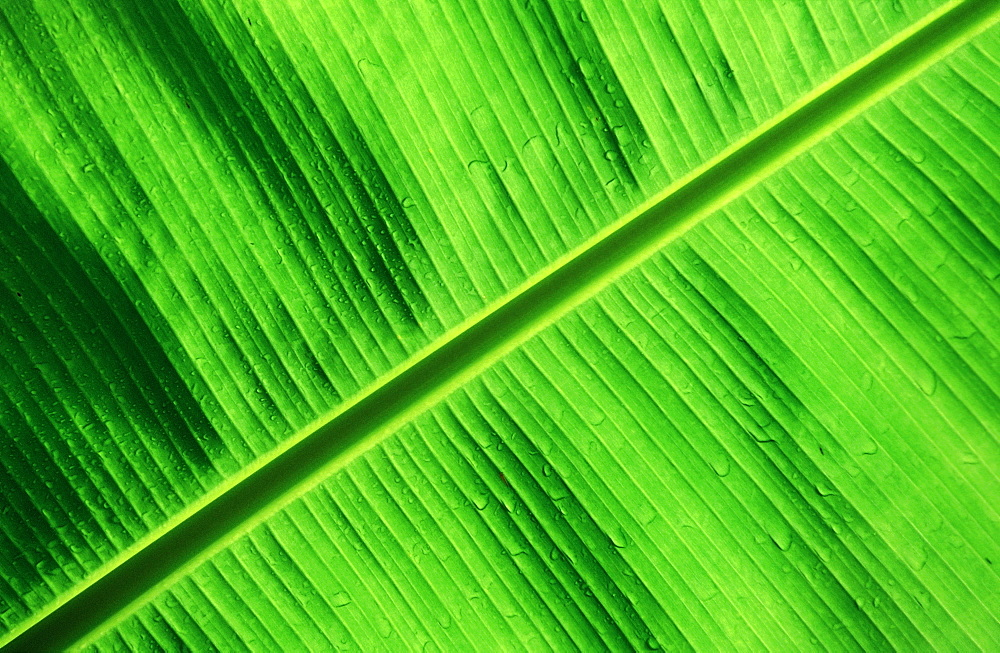 Green Palm Detail, Papua New Guinea, New Britain, Kimbe Bay