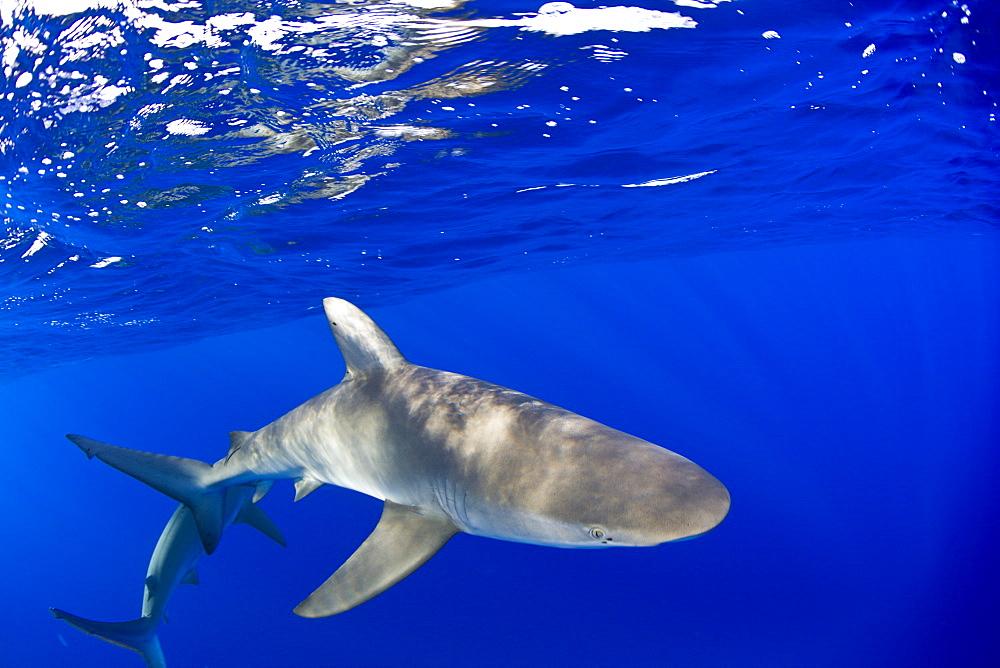 Galapagos Sharks, Carcharhinus galapagensis, Marshall Islands, Bikini Atoll, Micronesia, Pacific Ocean