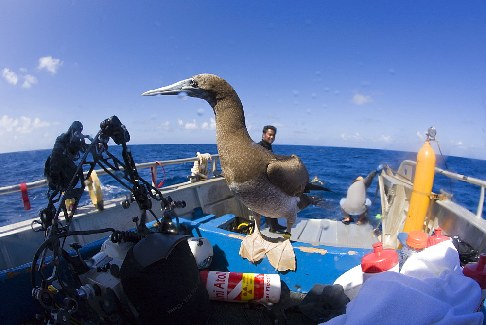 Young Brown Booby on Diving-Ship, Sula, leucogaster, Marshall Islands, Bikini Atoll, Micronesia, Pacific Ocean