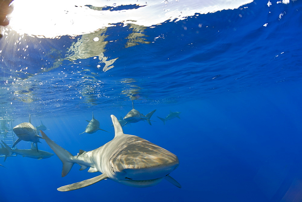 Galapagos Sharks, Carcharhinus galapagensis, Oahu, Pacific Ocean, Hawaii, USA