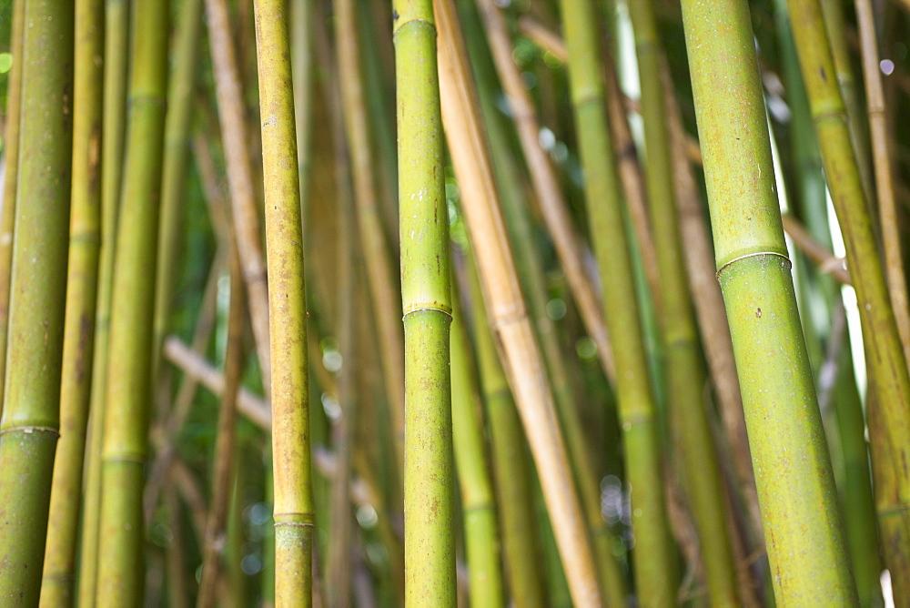 Bamboo Grove at Road to Hana, Maui, Hawaii, USA