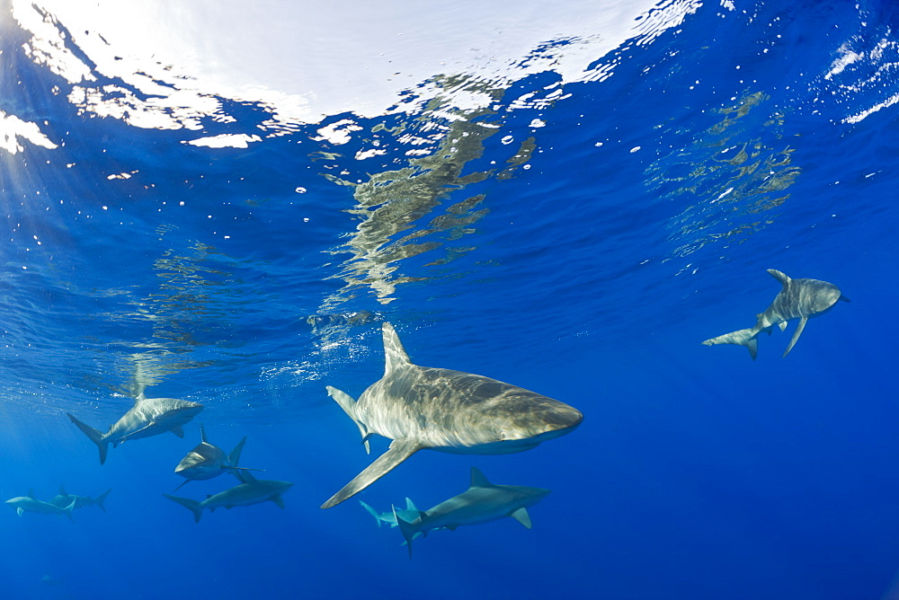Galapagos Sharks, Carcharhinus galapagensis, Maui, Hawaii, USA