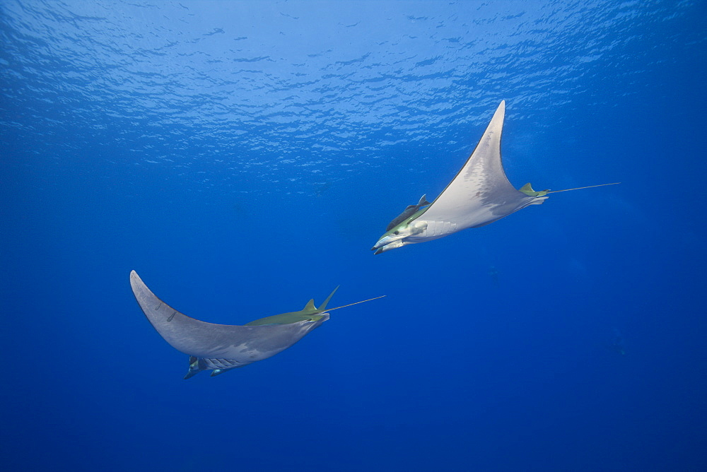 Sicklefin Mobulas, Mobula tarapacana, Azores, Princess Alice Bank, Atlantic Ocean, Portugal